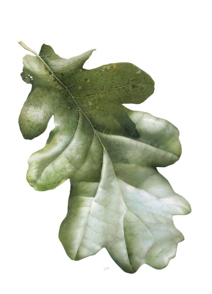 Oak Leaf<br />