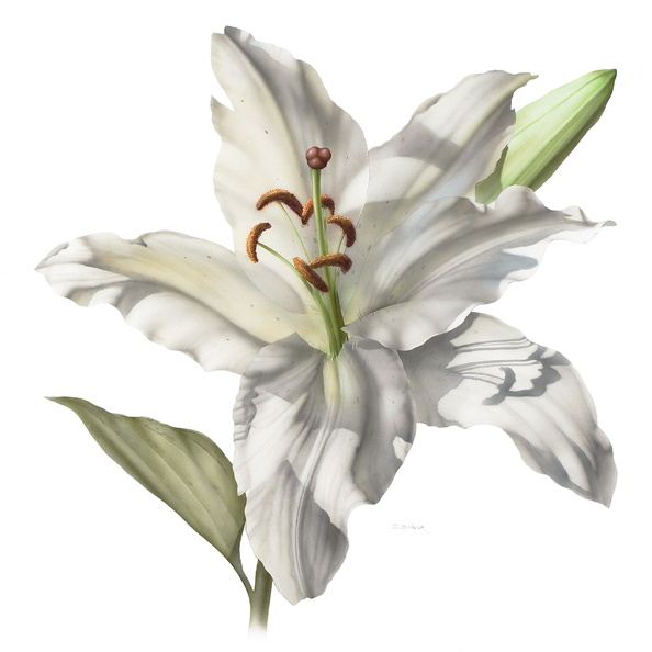 White Lily<br />