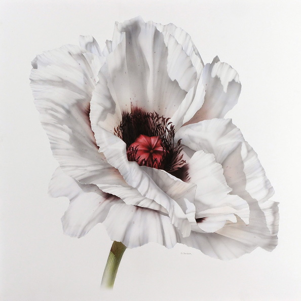 White Poppy<br />